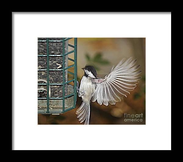 Chickadee In Flight Framed Print featuring the photograph Fan Dance by Faith Harron Boudreau