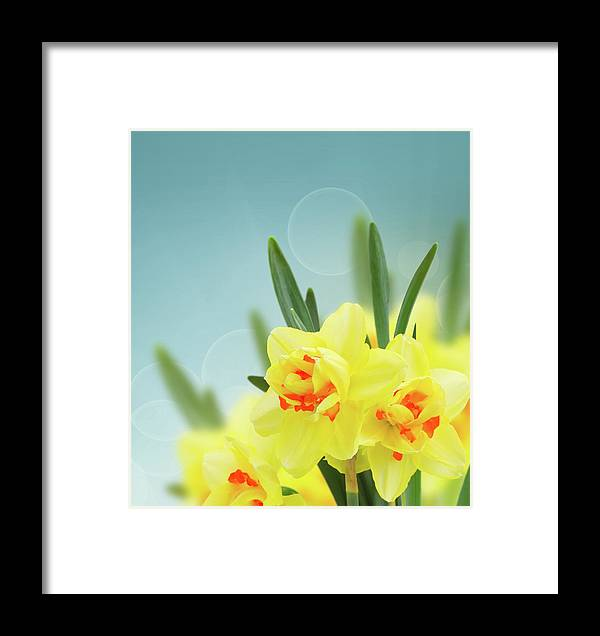 Daffodil Framed Print featuring the photograph Fancy Spring Narcissus Garden by Anastasy Yarmolovich