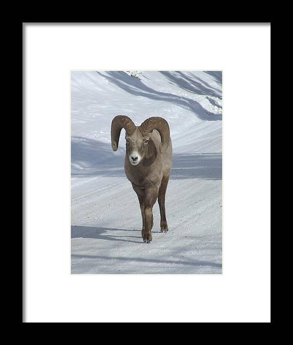 Bighorn Sheep Framed Print featuring the photograph Farewell To The King by Tiffany Vest