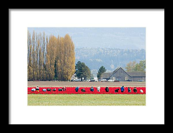 Flower Framed Print featuring the photograph Farming Tulips L574 by Yoshiki Nakamura
