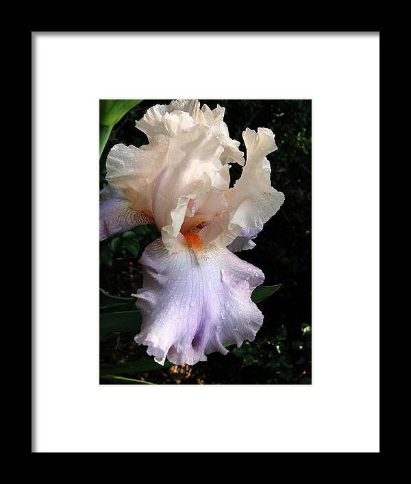 Iris Framed Print featuring the photograph Favorite Iris by Carol Sweetwood