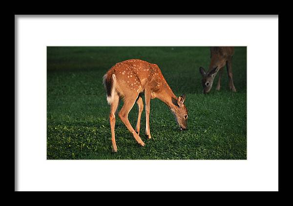 Fawn Framed Print featuring the photograph Fawn At Dusk by John Ricker