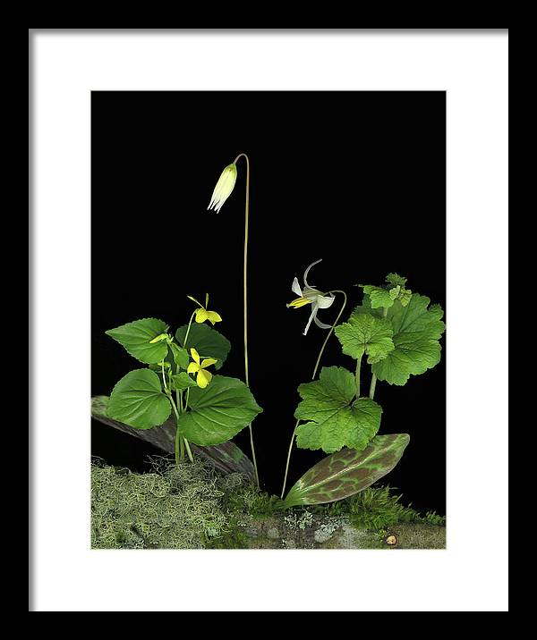 Fawn Lily Framed Print featuring the digital art Fawn Lily by Sandi F Hutchins
