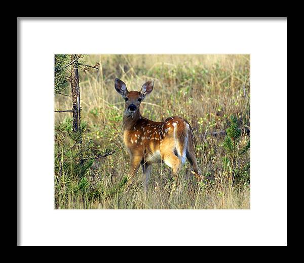 Deer Framed Print featuring the photograph Fawn by Marty Koch
