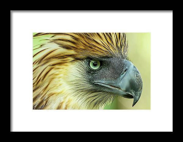 Philippine_eagle Framed Print featuring the photograph Fearless Philippine Eagle by Jelieta Walinski