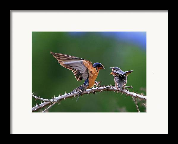 Birds Framed Print featuring the photograph Feed Me by William Lee