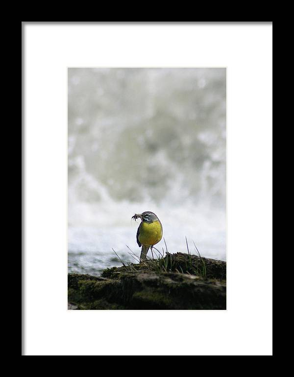 Wagtail Framed Print featuring the photograph Feeding Time At Forss by Mike Bambridge