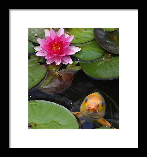 Koi Framed Print featuring the photograph Feeding Time by Doug Johnson