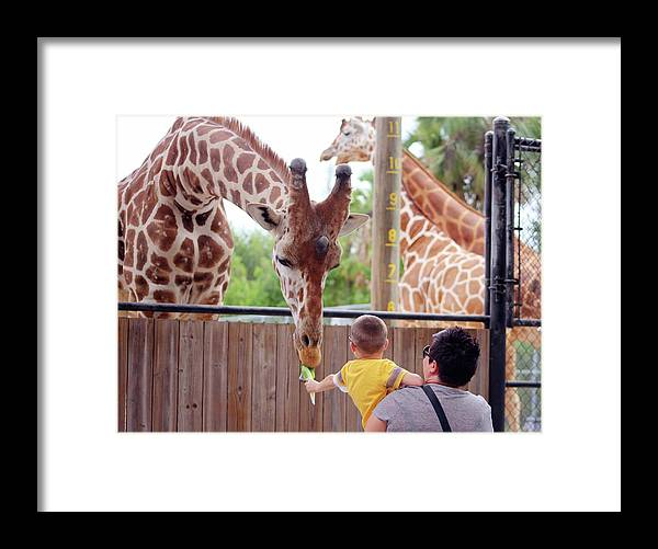 Giraffe Framed Print featuring the photograph Feeding Time by Jim Allsopp