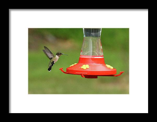 Bird Framed Print featuring the photograph Feeding Time by Lou Ford
