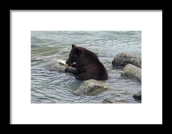 Grizzly Bear Framed Print featuring the photograph Feasting Bear by Richard J Cassato