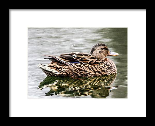 The Mallard (/ˈmælɑːrd/ Or /ˈmælərd/) (anas Platyrhynchos) Is A Dabbling Duck That Breeds Throughout The Temperate And Subtropical Americas Framed Print featuring the photograph Female Mallard Duck by William Rogers
