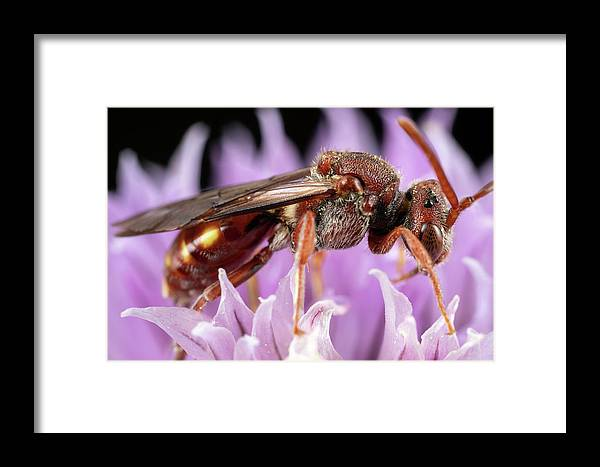 Macro Bee Bees Apiary Extreme Closeup Close Up Close-up Ma Mass Massachusetts Insect Brian Hale Brianhalephoto Eyes U.s.a. Usa Newengland New England Redbee Red-bee Red Nomada Female Flower Framed Print featuring the photograph Female Nomada by Brian Hale