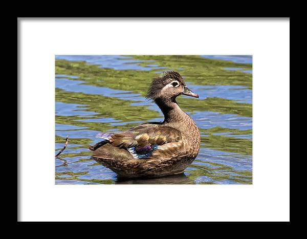 Wood Duck Framed Print featuring the photograph Female Wood Duck by Kathleen Bishop
