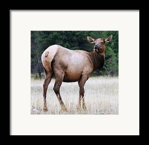 Elk Framed Print featuring the photograph Feme Elk by Tiffany Vest