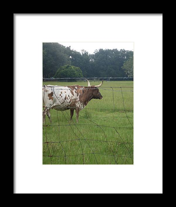 Longhorn.cow Framed Print featuring the photograph Fence Protection Vrs Fl Longhorn by Warren Thompson