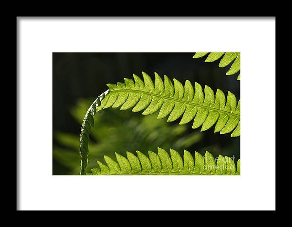 Garden Photo Framed Print featuring the photograph Fern by Steve Augustin