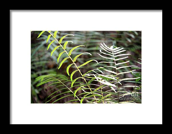 Ferns Framed Print featuring the photograph Ferns In Natural Light by Carol Groenen