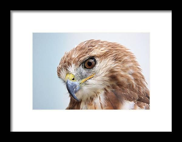 Ferruginous Hawk Framed Print featuring the photograph Ferruginous Hawk by Pierre Leclerc Photography