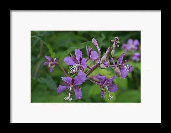 Flowers Framed Print featuring the photograph Fidos P Line by Alan Rutherford