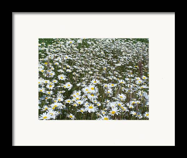 Dasies Framed Print featuring the photograph Field Dasies by Gene Ritchhart
