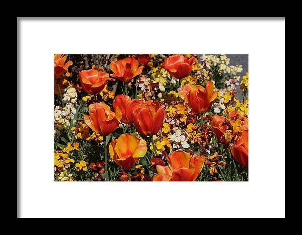 Tulips Framed Print featuring the photograph Field Of Tulips by Pierre Leclerc Photography