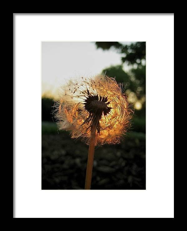 Flower Framed Print featuring the photograph Fiery Dandelion by Michele Stoehr