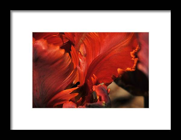 Tulip Framed Print featuring the photograph Fiery Tulip by Jennifer Englehardt