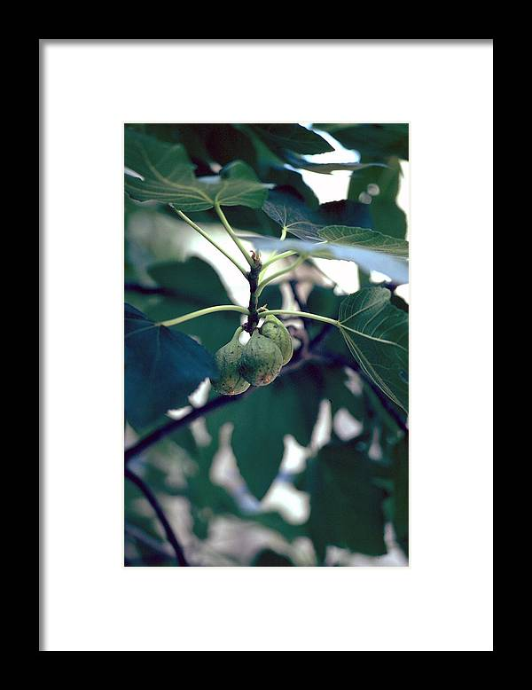 Fig Framed Print featuring the photograph Fig by Flavia Westerwelle