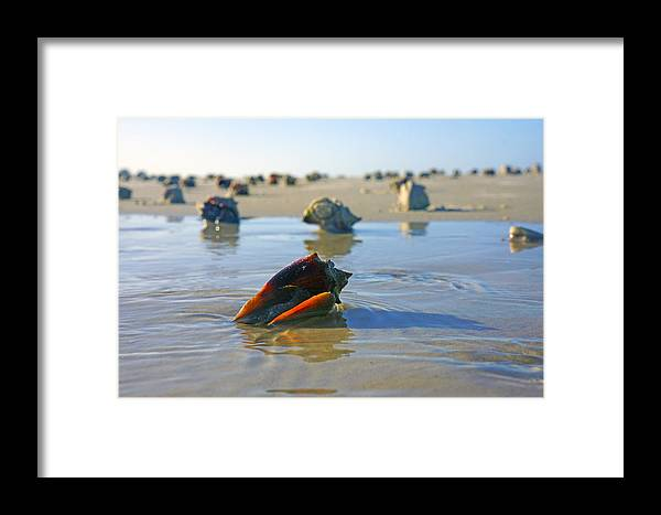 Fighting Conch Framed Print featuring the photograph Fighting Conchs On The Sandbar by Robb Stan