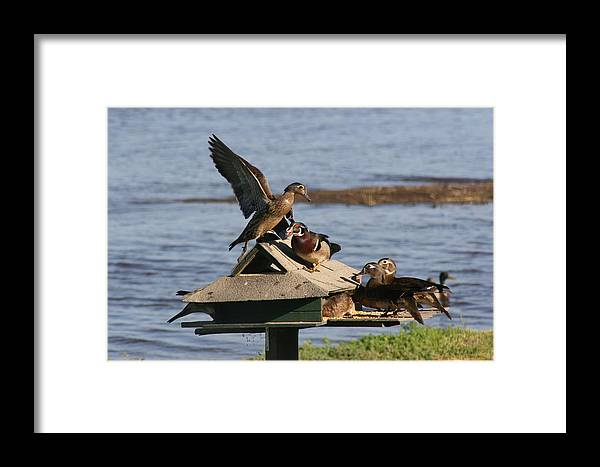 Ducks Framed Print featuring the photograph Fighting Ducks by Jerry Patchin