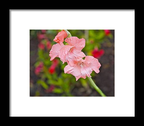 Gladiolious Framed Print featuring the photograph Final Fall Bloom by Robert Joseph