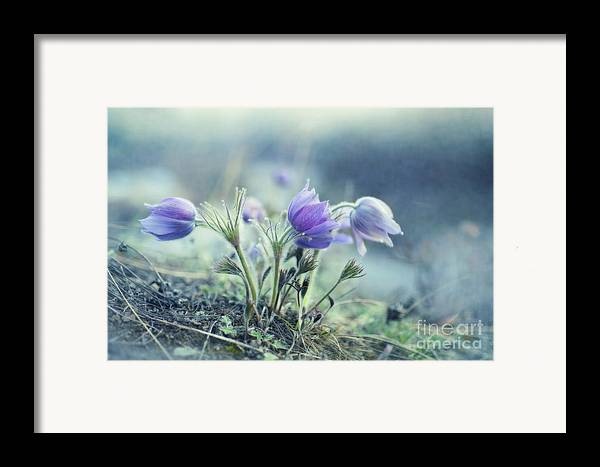 Pulsatilla Vulgaris Framed Print featuring the photograph Finally Spring by Priska Wettstein