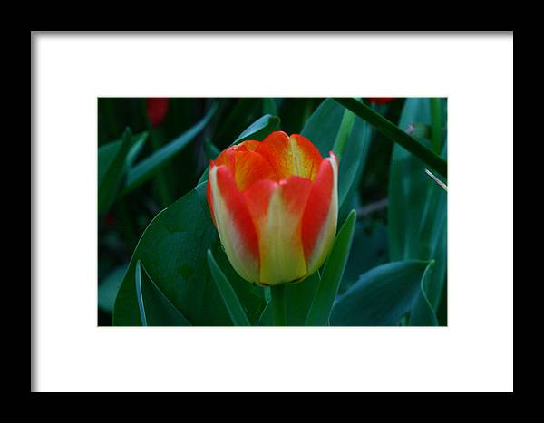 Botanical Framed Print featuring the photograph Fire Tulip by David Houston