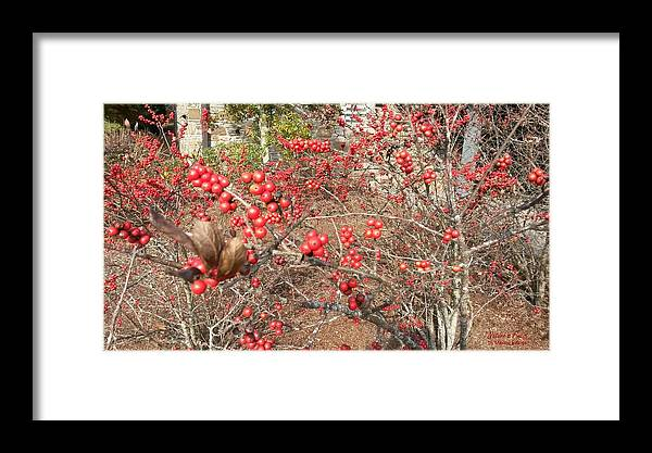 Firethorn Bushes Framed Print featuring the photograph Firethorn Bushes by Maxine Billings