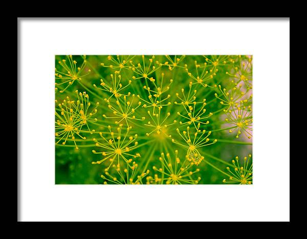Flowers Framed Print featuring the photograph Fireworks Of Dill Flowers by Butter Milk