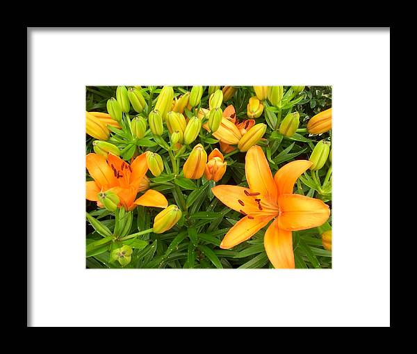 Flower Framed Print featuring the photograph First Orange Lillies by Ellen B Pate