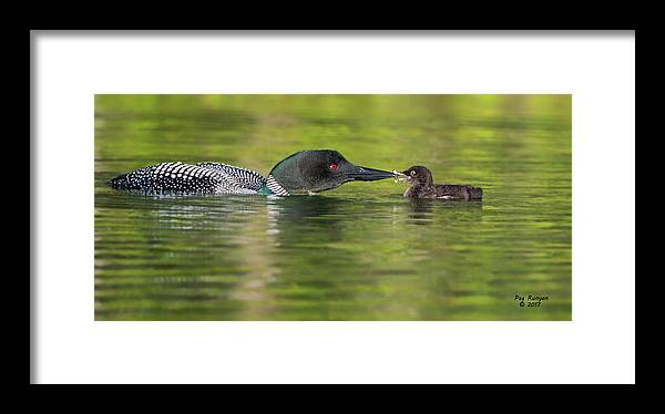 Loon Framed Print featuring the photograph Fish Dinner by Peg Runyan