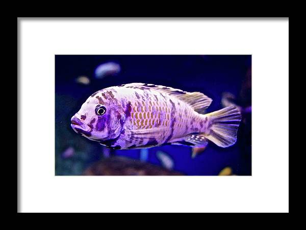 Calico Goldfish Framed Print featuring the photograph Calico Goldfish by Joan Reese