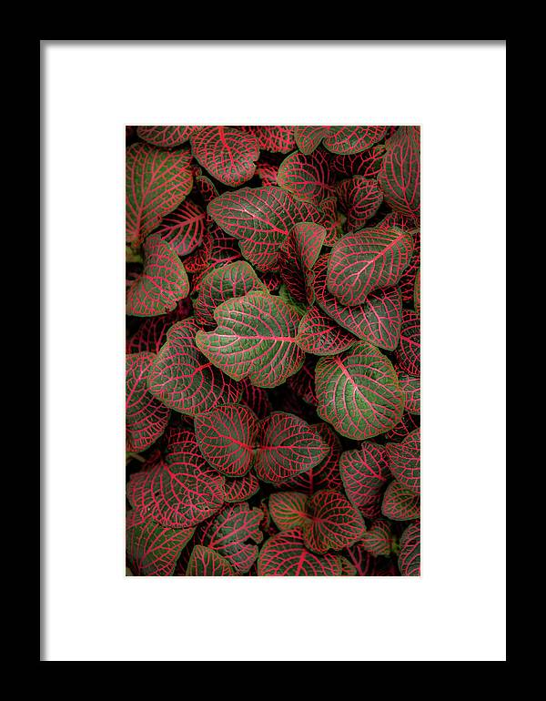 Fittonia Framed Print featuring the photograph Fittonia by Jade Moon