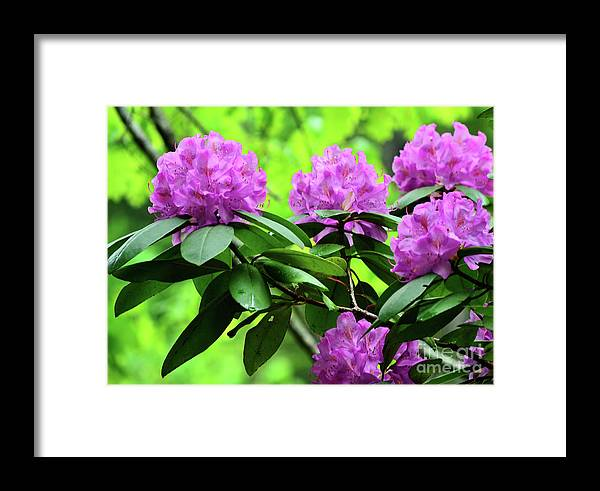 Azaleas Framed Print featuring the photograph Five Wild Azaleas Blossoms by Eva Thomas