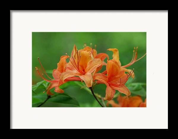 Flame Azalea Framed Print featuring the photograph Flame Azalea by Alan Lenk