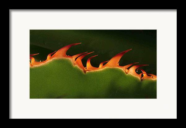 Nature Framed Print featuring the photograph Flaming Aloe by Matt Cormons