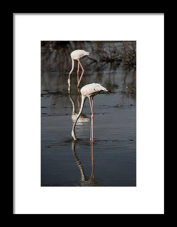 Flamingo، Bird Framed Print featuring the photograph Flamingo by Fayez Alnaqbi