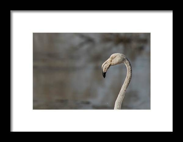 Flamingo Framed Print featuring the photograph Flamingo Head by Fayez Alnaqbi