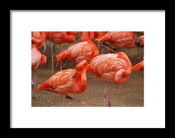 Teresa Blanton Framed Print featuring the photograph Flamingo Party by Teresa Blanton