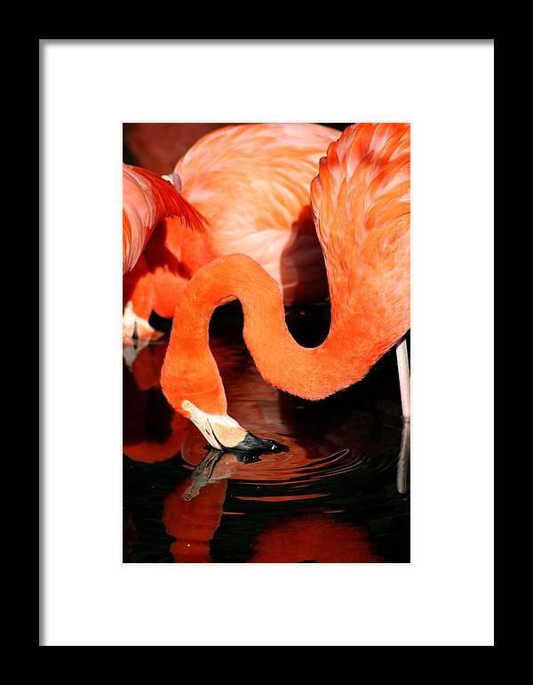 Pink Framed Print featuring the photograph Flamingo Taking A Dip by David Dunham