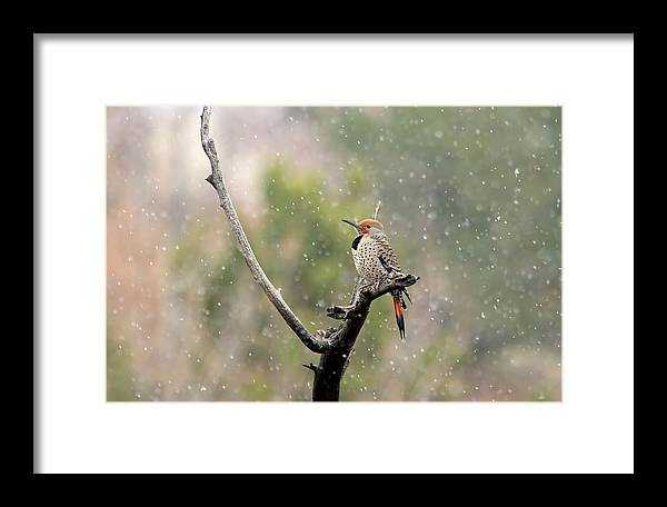 Northern Flicker Framed Print featuring the photograph Flicker In The Rain by Donna Kennedy