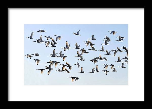 White Ibis Framed Print featuring the photograph Flight Of The White Ibis by David Lee Thompson