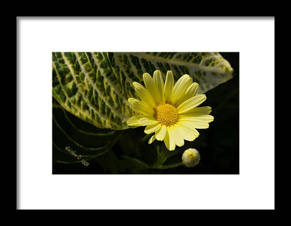 Daisy Framed Print featuring the photograph Floating Daisy by Lyle Huisken
